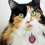 Long Haired Calico Cat Poster by Genevieve Morrison