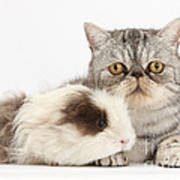 Long-haired Guinea Pig And Silver Tabby Poster