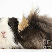 Long-haired Guinea Pigs Poster