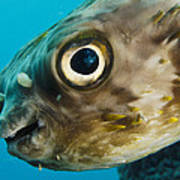 Long-spine Porcupinefish Diodon Poster