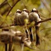 Longtailed Tit Fledglings Poster