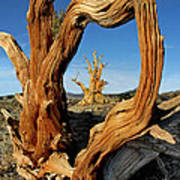 Looking Through A Bristlecone Pine Poster