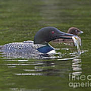 Loon Feeding Time Poster