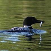 Loon With Minnow Poster