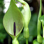 Lords And Ladies (arum Maculatum) Poster