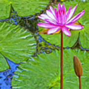 Lotus Blossom And Water Lily Pads Poster