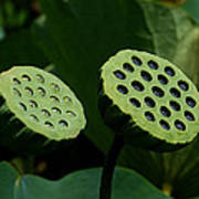 Lotus Capsules-sun Worshipers Dl052 Poster