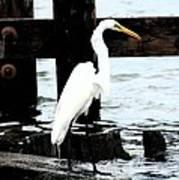 Louisiana Egret Poster