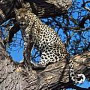 Lounging Leopard Namibia Poster by David Kleinsasser