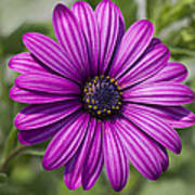 Lovely African Daisy - Osteospermum Poster