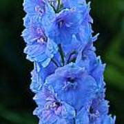 Lovely Larkspur Blue Poster