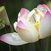 Lovely Lotus Poster by Living Color Photography Lorraine Lynch