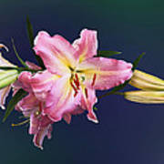 Lovely Pink Lilies Poster
