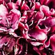 Low Key Pink Azalea Poster