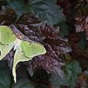 Luna Moth 1 Poster