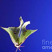 Luna Moth In Flight Poster
