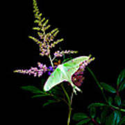 Luna Moth On Astilby Flower Poster