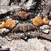 Lunate Zale Moth Poster