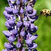 Lupine And Bee Poster