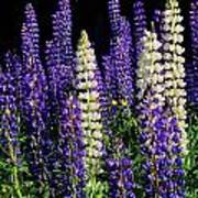 Lupine Flowers Poster