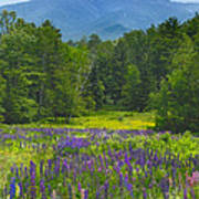 Lupine In Sugar Hill New Hampshire Poster