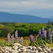 Lupins On A Shingle Beach Poster by John Kelly