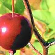 Luscious Fruit Poster