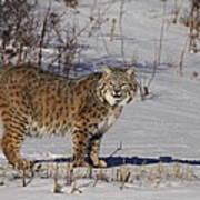 Lynx In Winter Poster