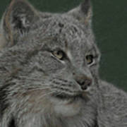 Lynx Painterly Poster