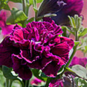 Maco Petunia Flower Double Burgundy Madness Art Prints Poster