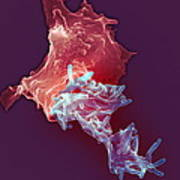Macrophage Engulfing Tuberculosis Vaccine Poster