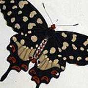 Madagascan Pipevine Swallowtail Butterfly Poster
