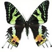 Madagascan Sunset Moth Poster