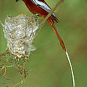 Madagascar Paradise Flycatcher Poster