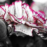Magenta Carnation Poster