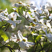 Magical White Flowering Dogwood Blossoms Poster