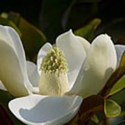 Magnificent Alabama Magnolia Blossom Poster