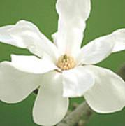 Magnolia Blossom I Poster