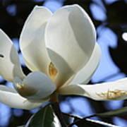 Magnolia In Blue Poster