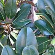Magnolia Leaves 1 Poster