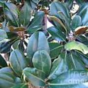 Magnolia Leaves 2 Poster