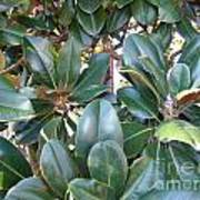 Magnolia Leaves 3 Poster