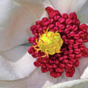 Magnolia Sieboldiana Closeup Poster