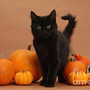 Maine Coon Kitten And Pumpkins Poster