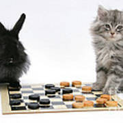 Maine Coon Kitten And Black Rabbit Poster