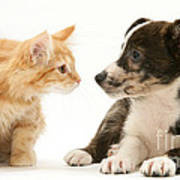 Maine Coon Kitten And Mongrel Dog Poster
