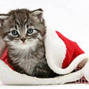 Maine Coon Kitten Poster