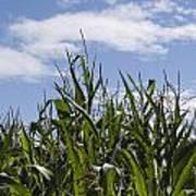Maize Crop Poster