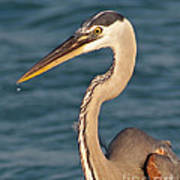 Majestic Great Blue Heron Poster