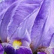 Majestic Purple Iris Poster